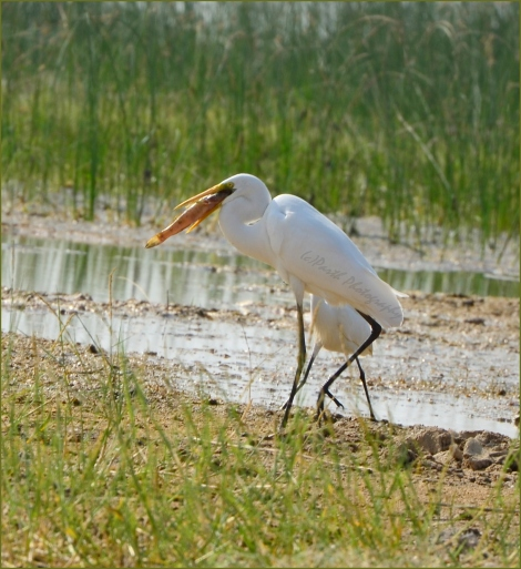 Great Egret On Lunch