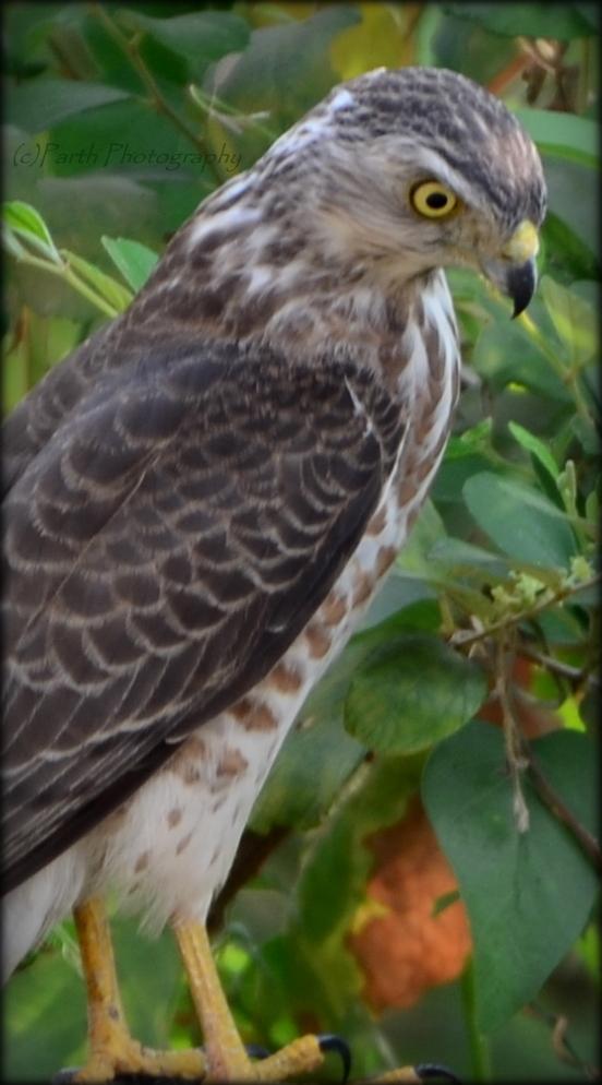 Indian Spotted Eagle (Aquila hastata ) | ~` Parth Fotopedia`~