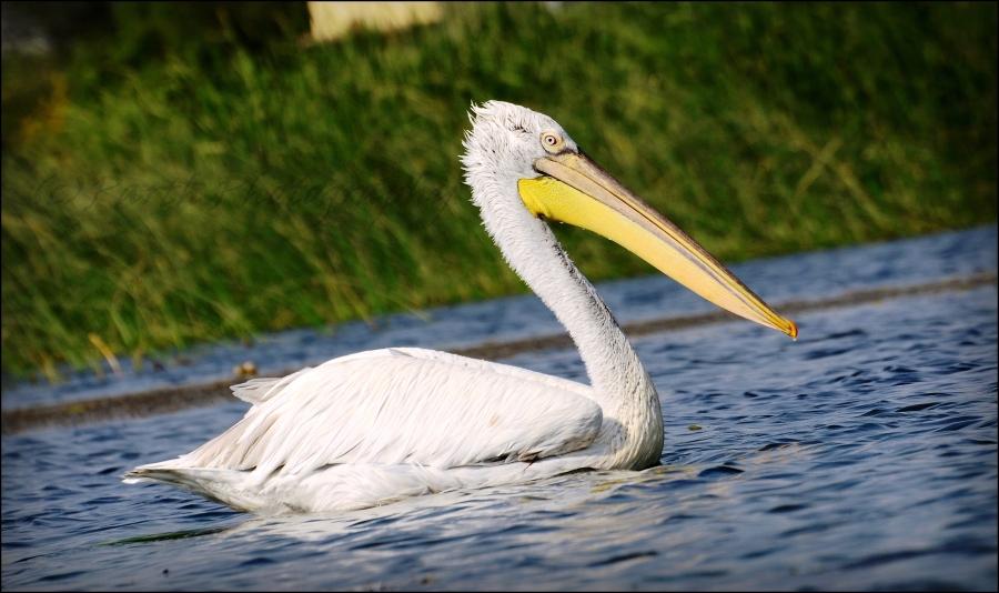 White American Pelican 1-0
